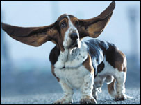 Basset Hound world's longest ears