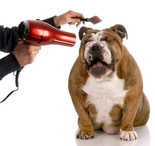 Blow drying a bulldog