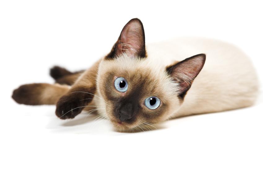 Siamese Cat Petsecure