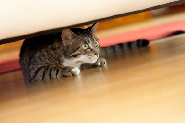 Scared cat hiding under couch