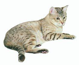 Aussie Breed Cat