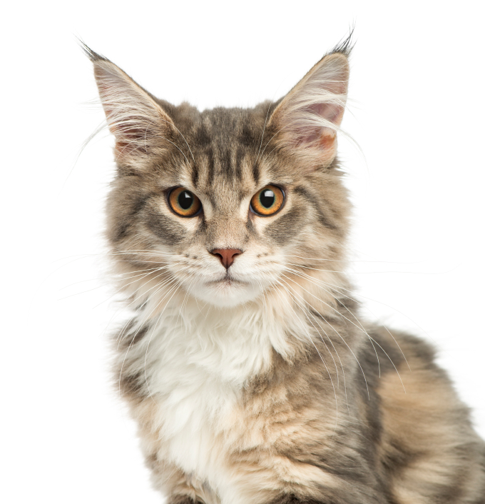Maine Coon Cat PetSecure