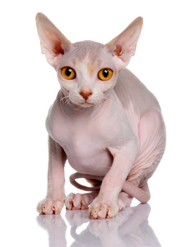 Rescue Sphynx Cats Canada
