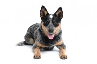 Blue Heeler Dog Breed Temperament