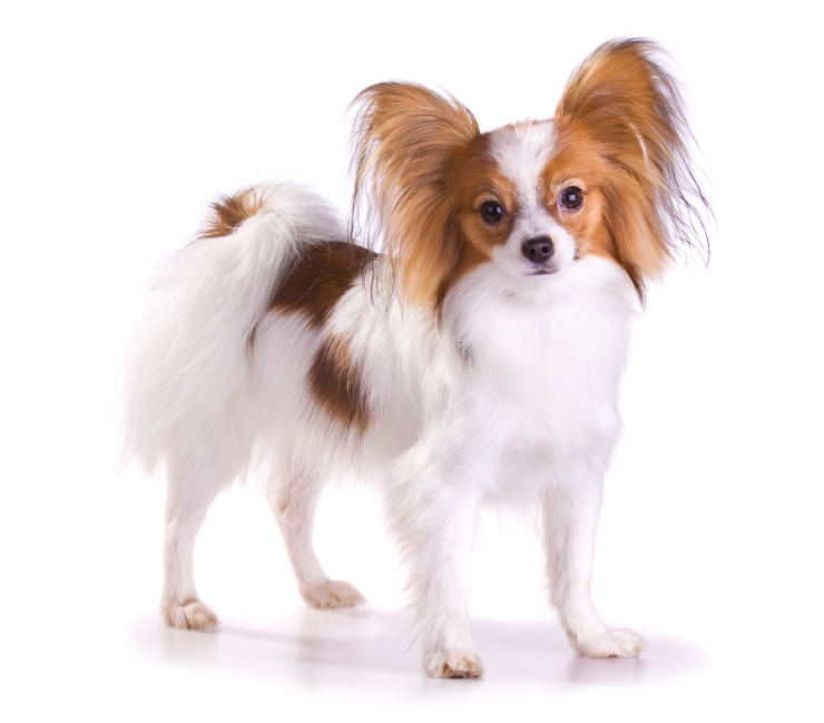 Group Toy Dogs : Papillon petsecure