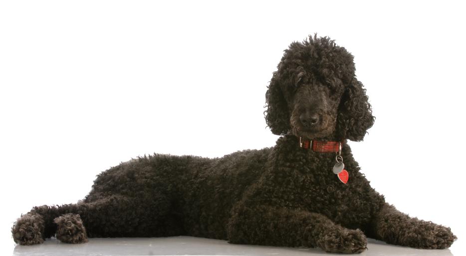Dog Rescue Standard Poodle