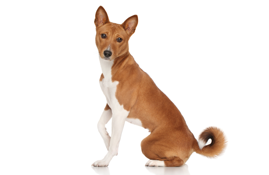 Dog Breeds With Curly Tail White Tip | Dog Breeds Picture