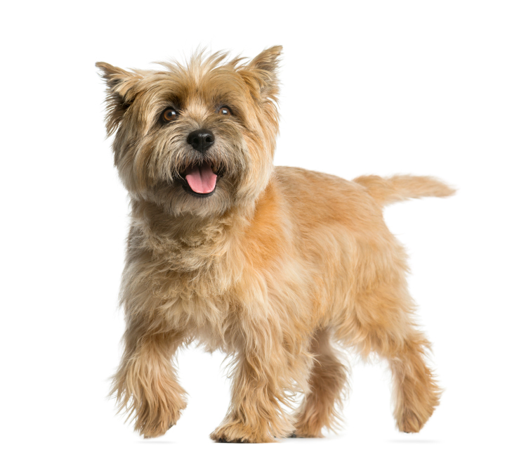 The cheerful Cairn Terrier is one of Scotland's original dog breeds ...