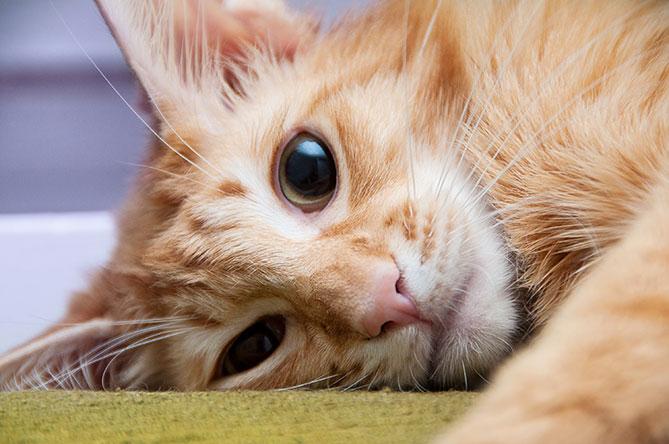gato hipoalergénico gato javanés