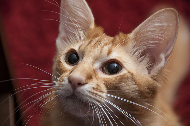 7 Hypoallergenic Cats for People Who Are Allergic But Love Felines