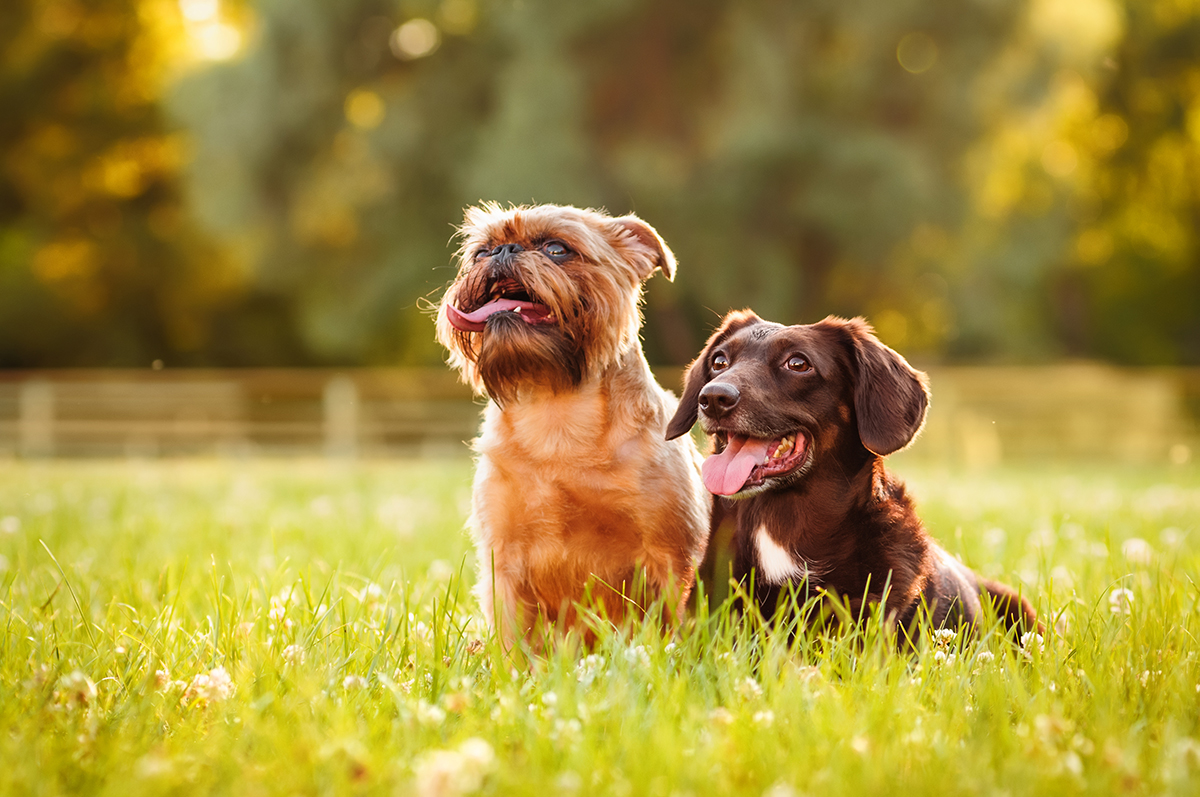 petsecure - How to Introduce a Second Dog to Your Family