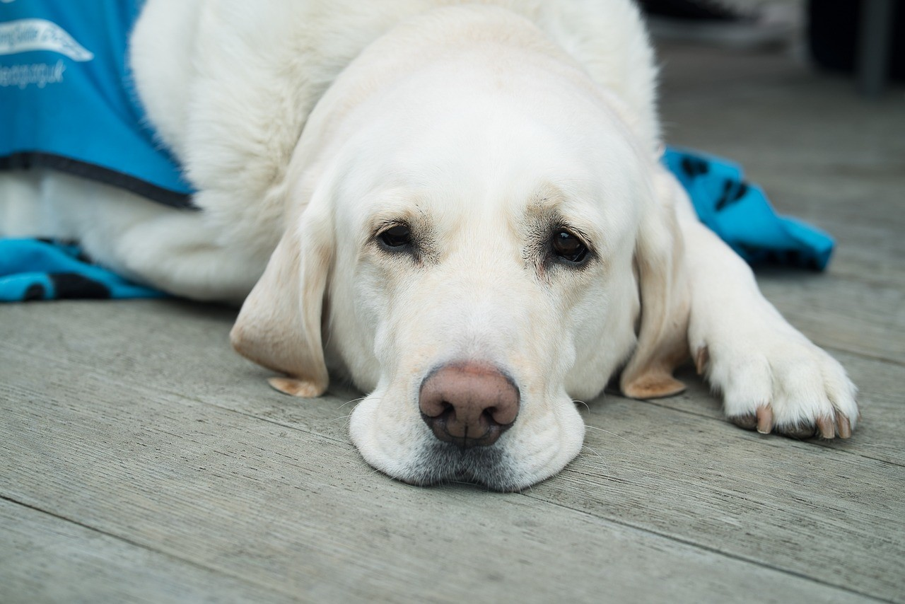Labrador relaxing