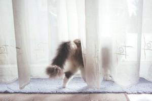 Kitten walking through a curtain