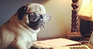 Pug at computer