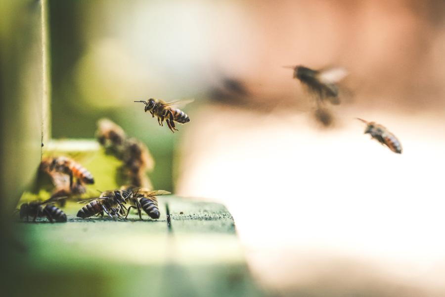 bees flying, bee stings