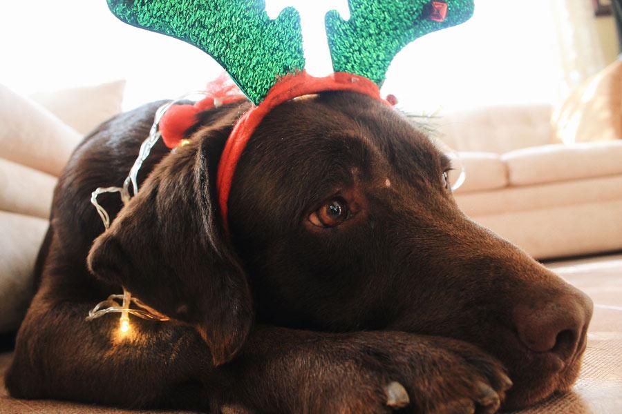 brown dog wearing reindeer ears