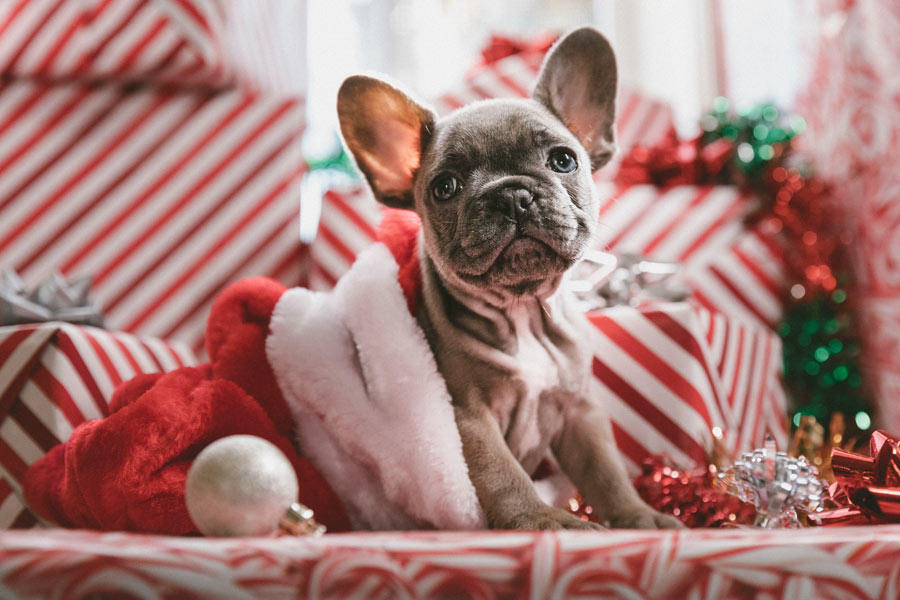 French Bulldog in a Christmas hat