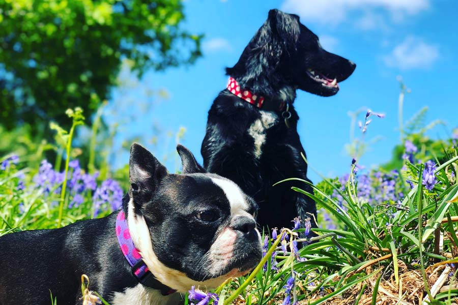 two black dogs in flowers, outdoors