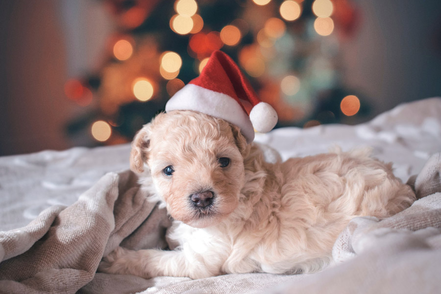 white puppy wearing a Christmas hat, pet safety