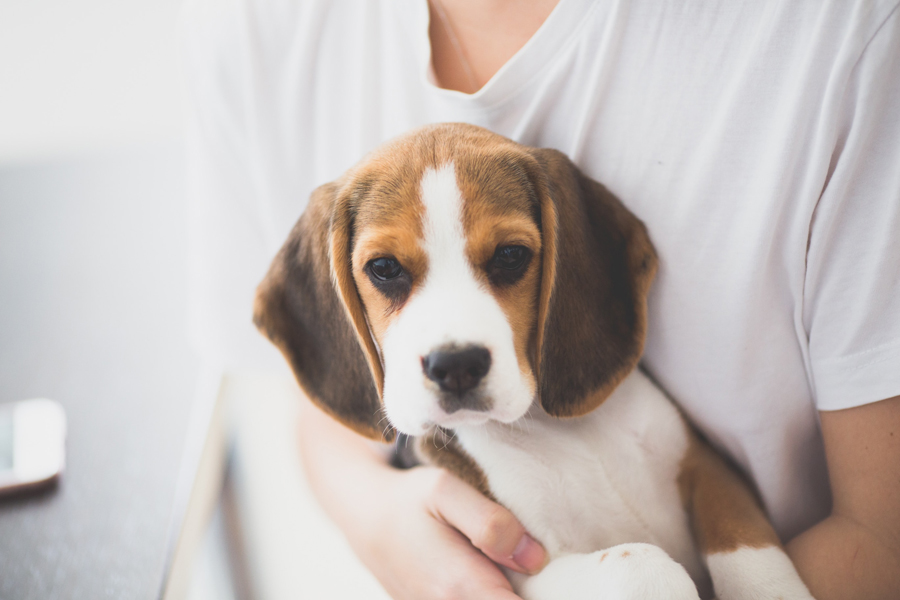 beagle, best dogs for kids