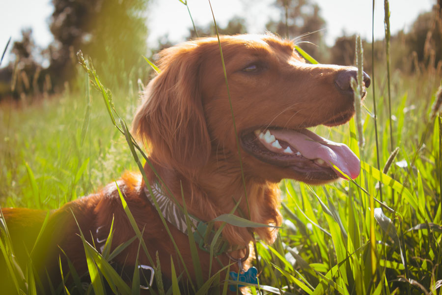 Irish setter, best dogs for kids