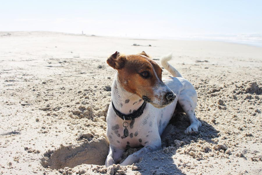 jack russell at the beach, summer pet safety