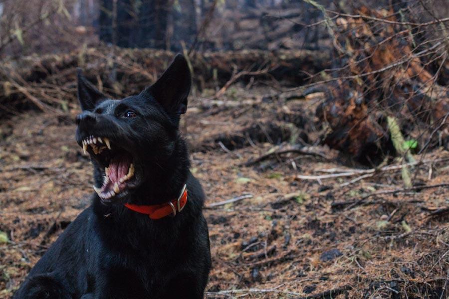 Aggressive black dog, outdoors