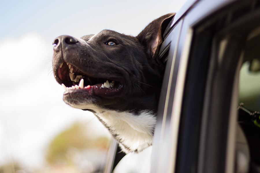 dog hanging head out of car window, pet travel