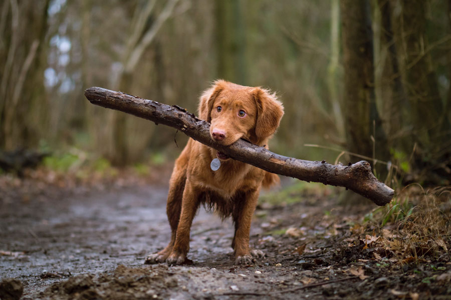 brown dog carrying a stick in its mouth