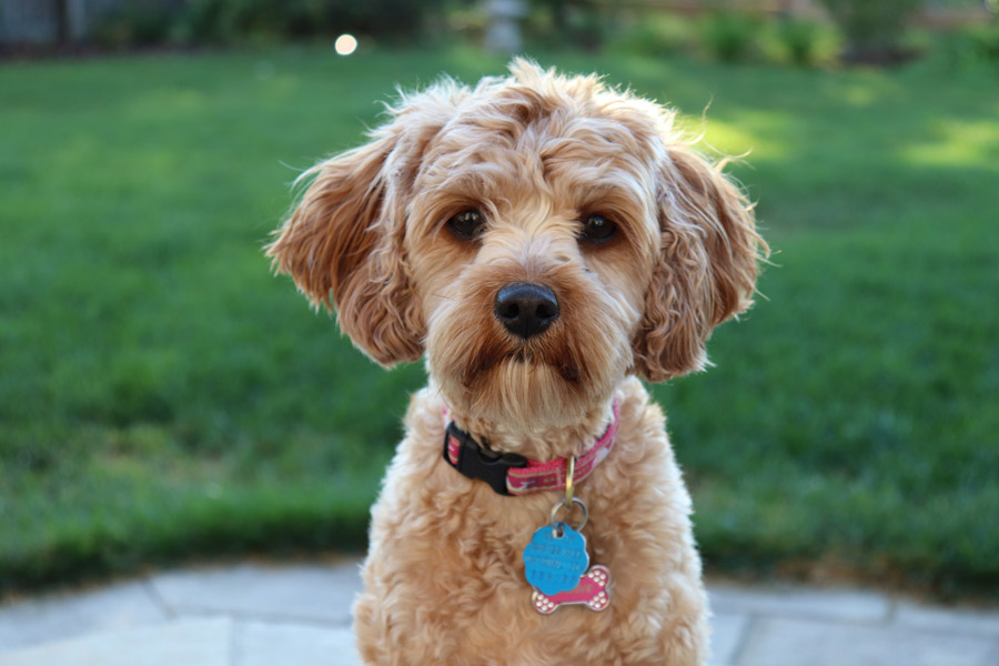 cute brown curly-haired dog