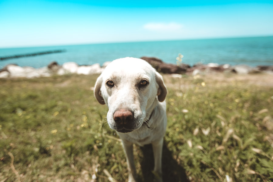 labrador near the ocean, pet travel safety