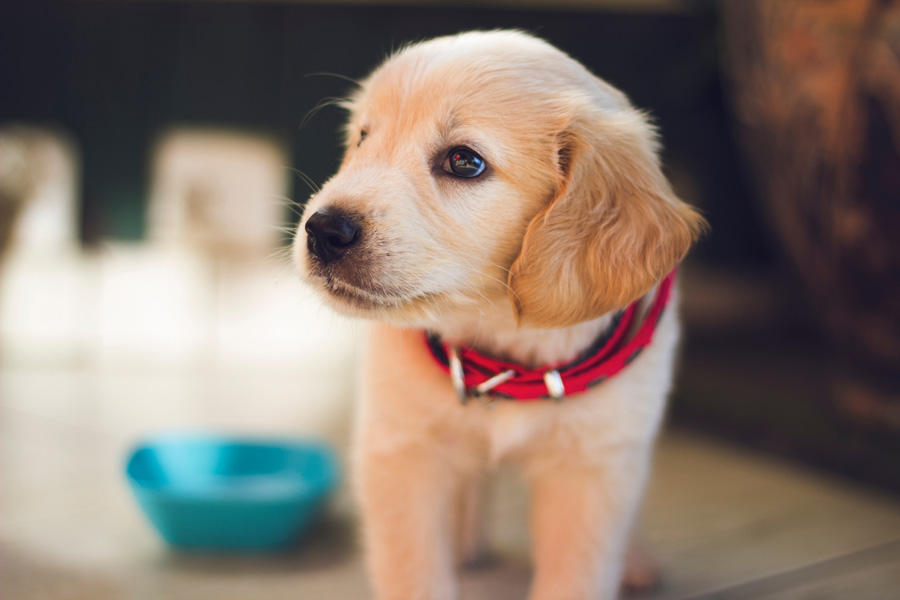 labrador puppy next to food bowl