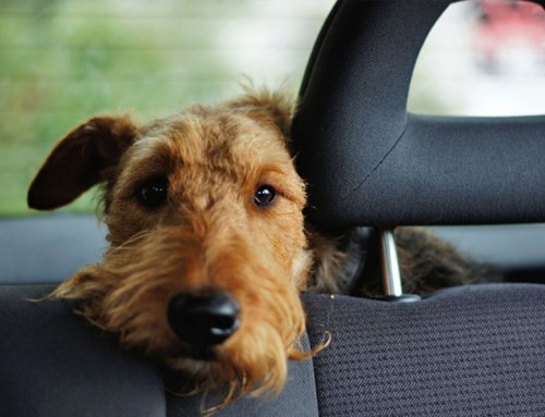 Pet travel safety: how to travel with your dog
