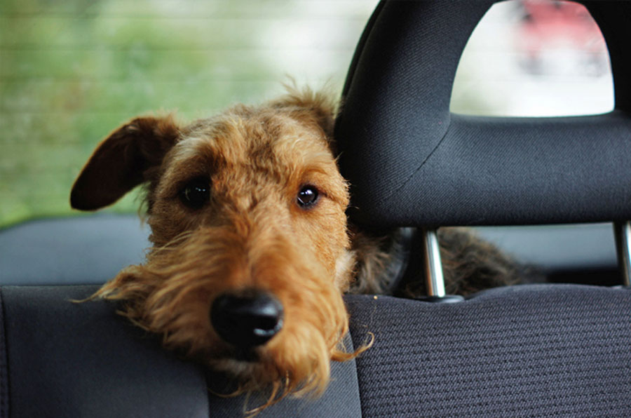 pet travel safety, dog in backseat of a car