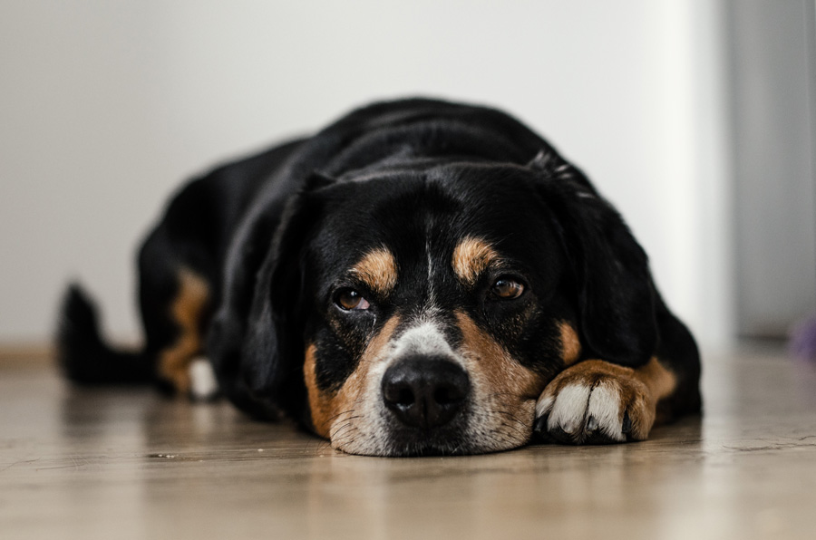 Black and white dog lying on the floor indoors