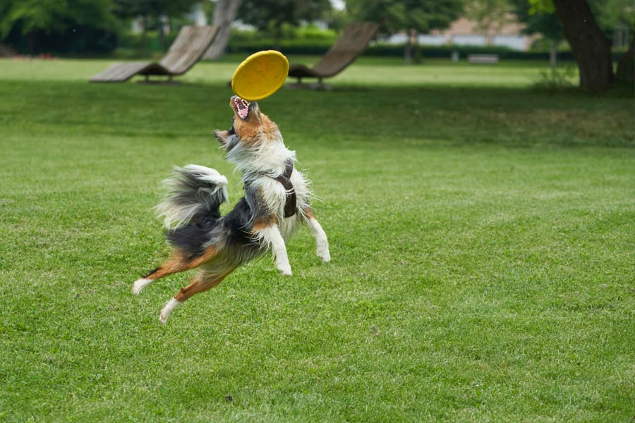 dog playing frisbee in the park