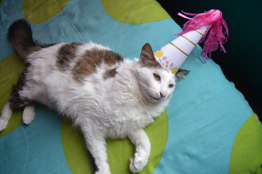 cat wearing party hat, cat's birthday