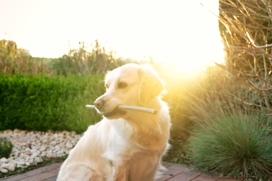 golden retriever outside holding stick
