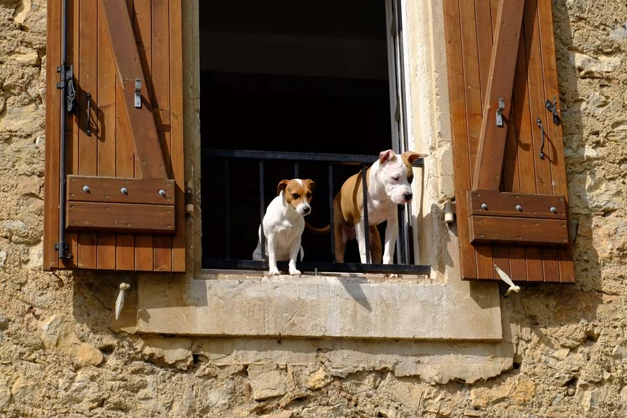 Jack russell and bulldog on balcony