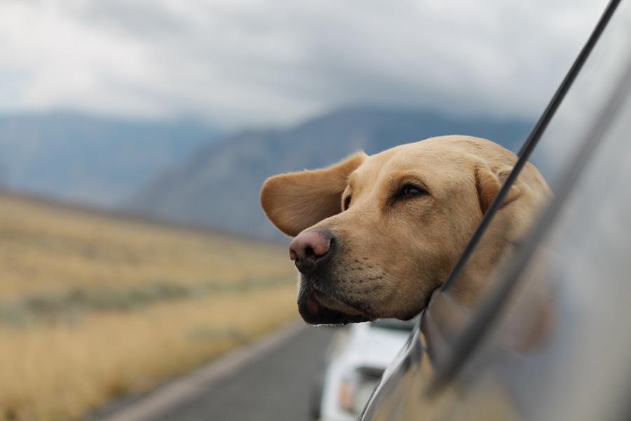 labrador head sticking out of car window