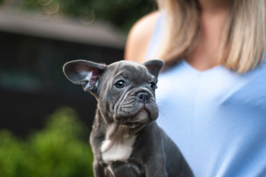 Grey Boston Terrier puppy on woman's lap