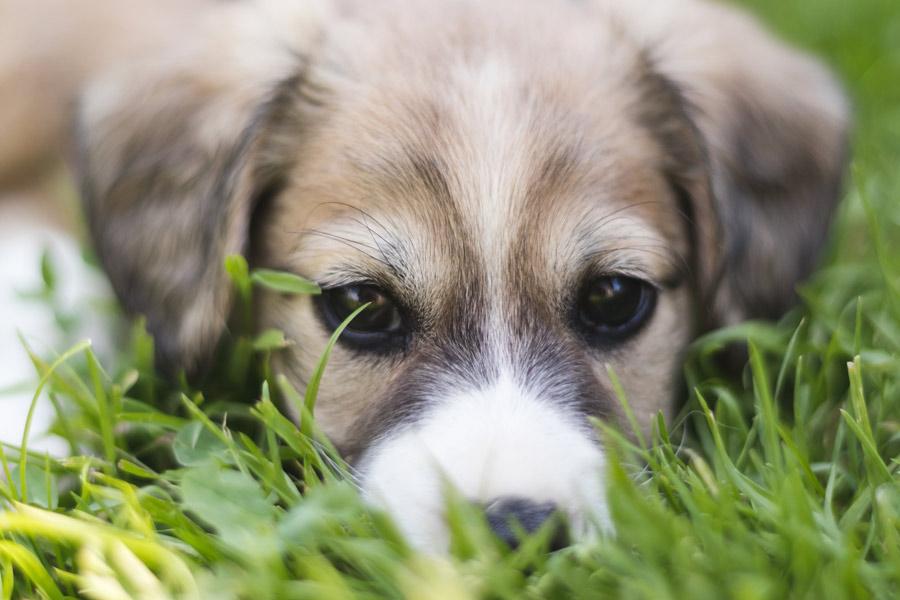 grey puppy lying in grass