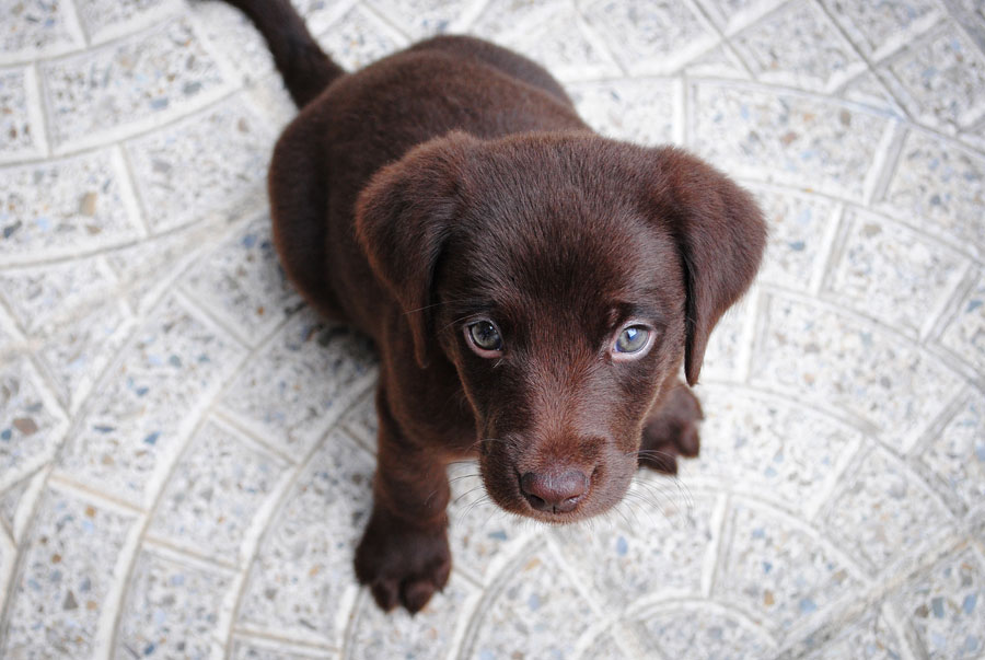 brown short-coated puppy looking up