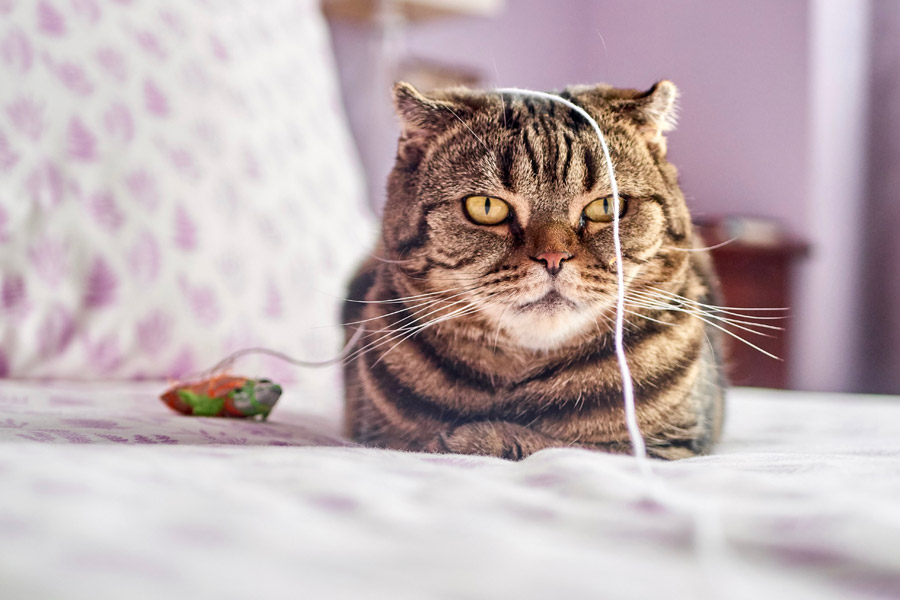 tabby cat on bed with string on its head