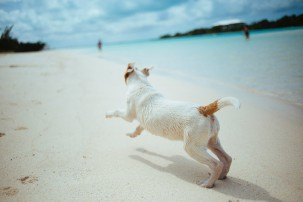 pet on holidays, terrier on white sandy beach
