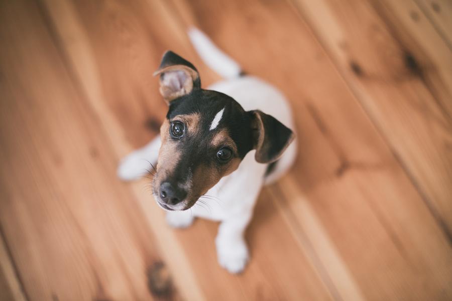 terrier puppy sitting on floor