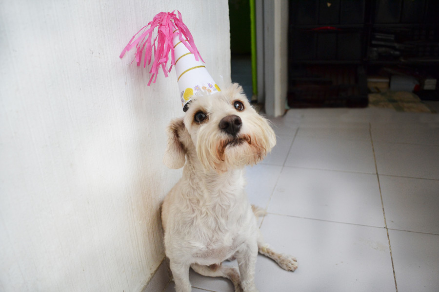 white dog wearing birthday hat