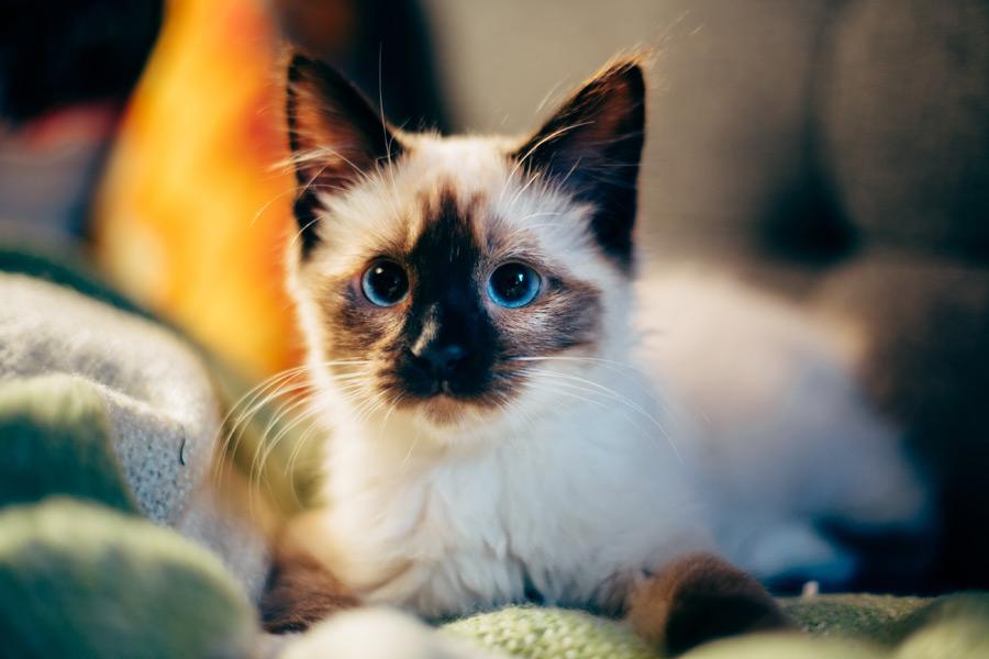 blue-eyed cat sitting on sofa