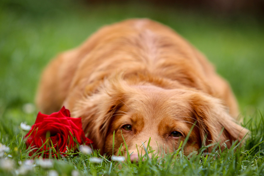 brown dog lying on grass next to red rose
