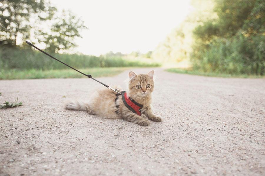 tabby cat on lead